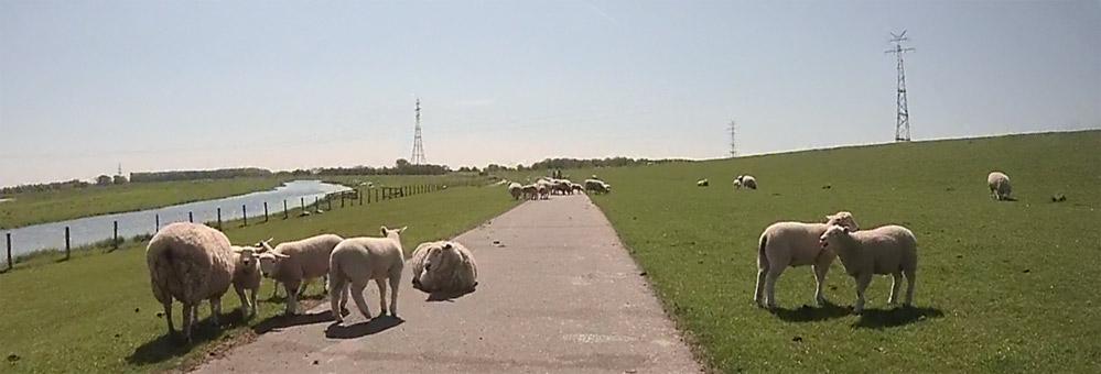 Auf der Runde durch die Haseldorfer Marsch können Schafe den Weg versperren...